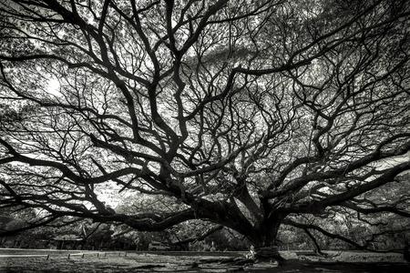 samanea saman: Big rain tree with branch magnify (Samanea saman) vintage tone Stock Photo