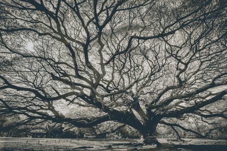 samanea saman: Over 100 year old big Rain Tree (Samanea saman) Stock Photo