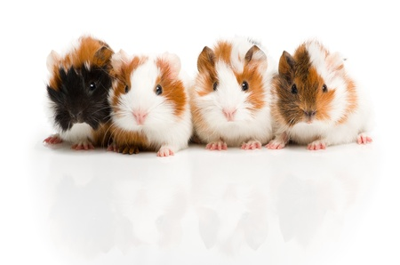 cute pig: Four guinea pigs together in row looking in camera
