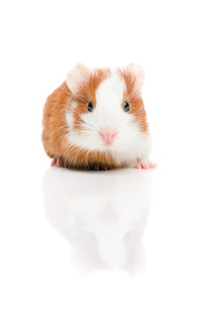 Red and white guinea pig on white background photo