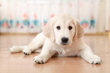 ラブラドル ・ レトリーバー犬子犬部屋で小麦粉の上に横たわるの肖像画