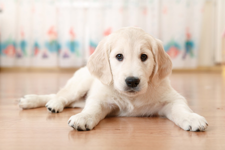 Portrait of labrador retriever puppy lying on the flour at room