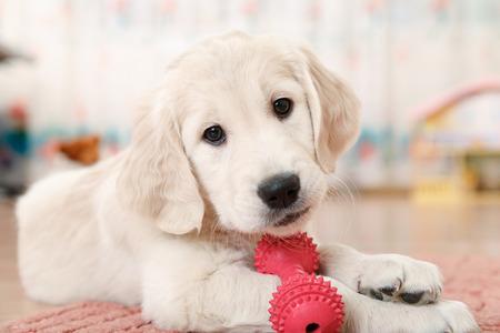 labrador retriever štěně hrát s hračkou při pokojové Reklamní fotografie