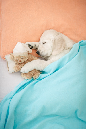labrador retriever puppy sleeping with toy on the bed Standard-Bild