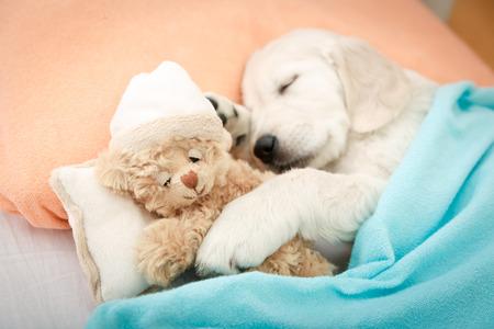labrador retriever puppy slapen met speelgoed op het bed Stockfoto