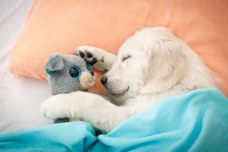 labrador retriever puppy sleeping with toy on the bed Stock Photo