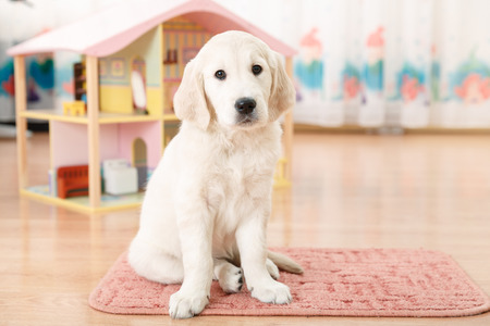 Portrait of labrador retriever puppy sitting on the flour at room