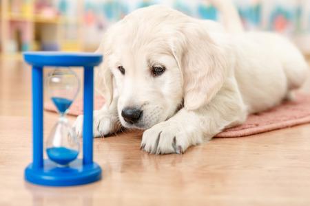 reloj de arena: cachorro labrador retriever mirando al reloj de arena Foto de archivo