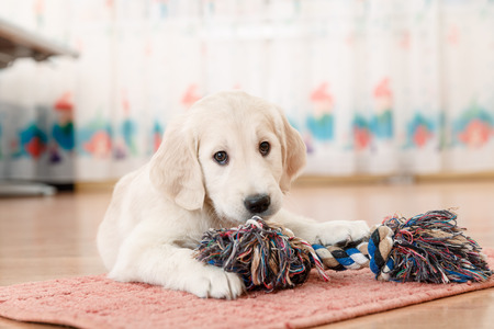 golden retriever puppy playing with toy at room