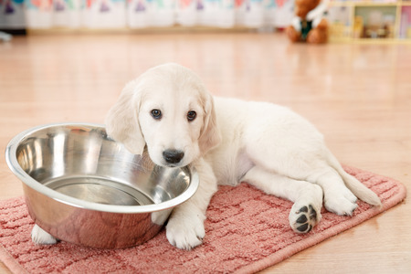golden retriever puppy lying down near empty feeding bowl