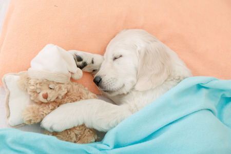 golden retriever puppy sleeping with toy on the bed Standard-Bild