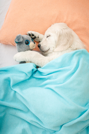 golden retriever puppy sleeping with toy on the bed 写真素材