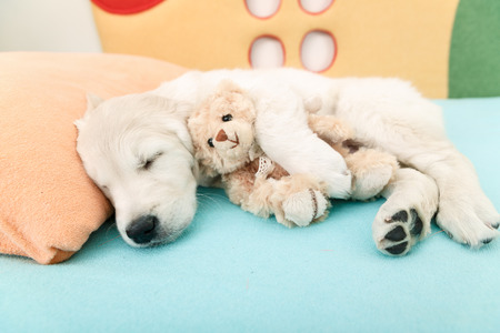 golden retriever puppy sleeping with toy on the bed 스톡 콘텐츠