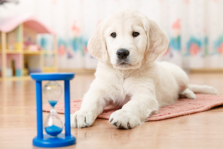 cute puppy: training of golden retriever puppy watching at the hourglass Stock Photo