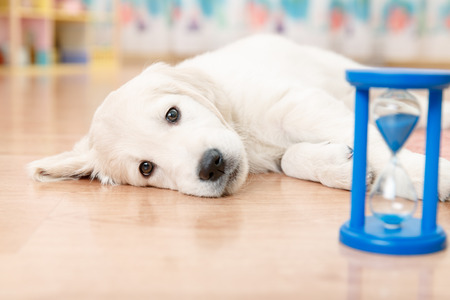 training of golden retriever puppy watching at the hourglass Stock Photo
