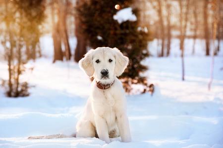 Winter walk at snowing park of golden retriever puppy Standard-Bild