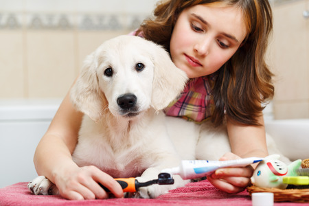 女の子オーナーはシャワー後・ リトリーバーの子犬の歯をクリーニングします。