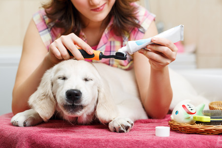 Girl owner is cleaning teeth of retriever puppy after shower Standard-Bild