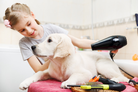 Girl owner is grooming the fur of retriever puppy after shower photo