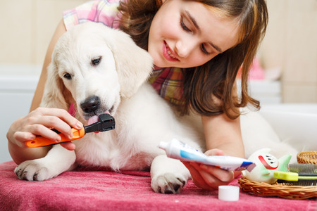 girls bathing: Girl owner is cleaning teeth of retriever puppy after shower Stock Photo