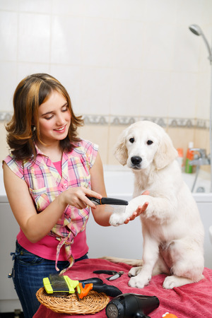 groomer: Girl owner is combing out the fur of retriever puppy after shower
