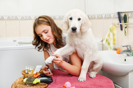 groomer: Girl owner is making manicure of retriever puppy after shower