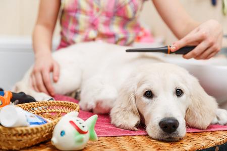 peine: Propietario muchacha est� peinando el pelo de perro perdiguero despu�s de la ducha