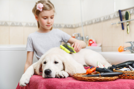 dry hair: Girl owner is combing out the fur of retriever puppy after shower