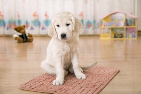 Sad golden retriever puppy sitting on the floor