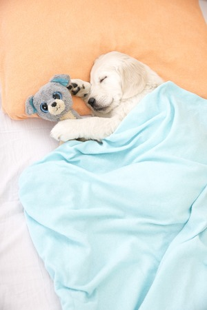 golden retriever puppy: golden retriever puppy sleeping with toy on the bed Stock Photo
