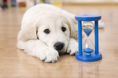 Golden retriever puppy patrząc na klepsydry czeka na karmienie