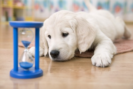 labrador: golden retriever puppy watching at the hourglass waiting for feeding