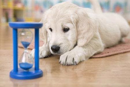 reloj de arena: Golden Retriever cachorro mirando al reloj de arena a la espera de la alimentación Foto de archivo