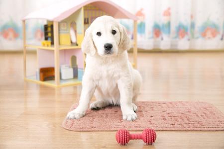 perros graciosos: Retrato de cachorro de golden retriever que se sienta en la harina en la sala