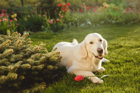 Portrait of a beautiful Golden Retriever dog. Concept beauty, softness, pedigree.