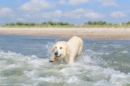 Golden retriever on the sea