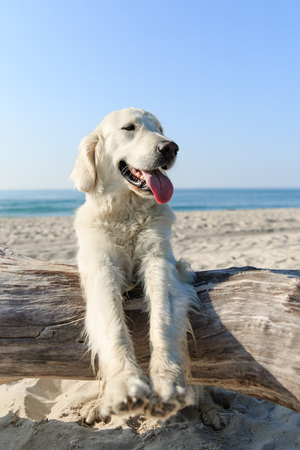 Happy Golden Retriever playing at the beach