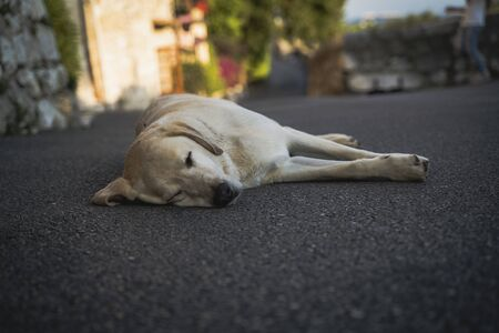 dog labrador is happily sleeping on the on street