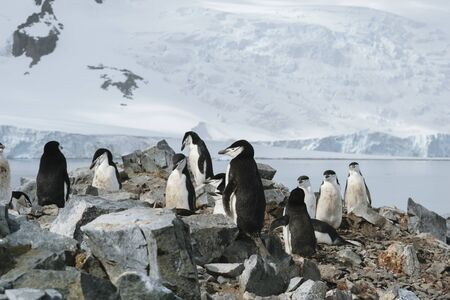Antarctica, group of Adelie Penguins. Nature and landscapes of Antarctic