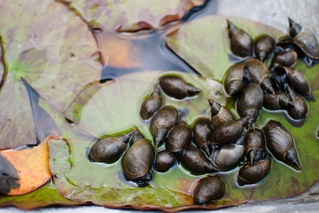 botanic garden: Creepy snails in the pond. Botanic garden