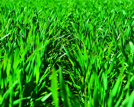 Sprouted wheat young photo
