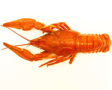 Boiled lobster on a white background photo