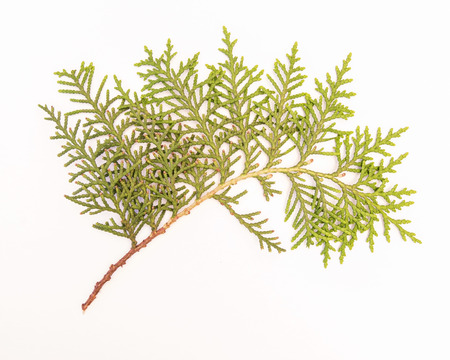 arborvitae: Sprig of green arborvitae Stock Photo