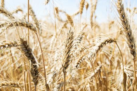 Ears of wheat photo