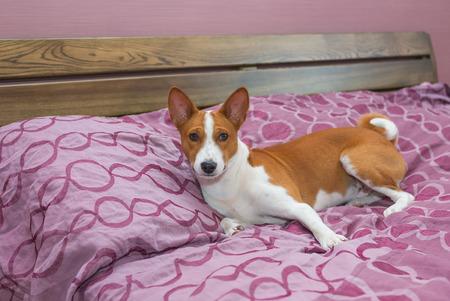 counterpane: Lazy basenji dog on its own king-sized bed Stock Photo