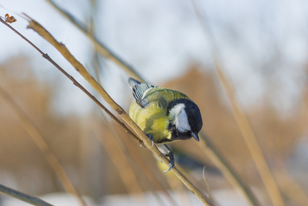 locating: Little cute blue tit sitting on a branch under winter sunlight and locating for  food