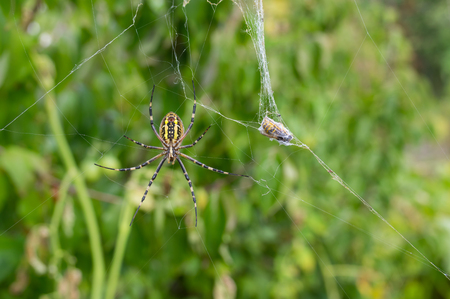 argiope: Yellow-black spider (Argiope Bruennichi) waiting till the lunch its victim (wasp) cooked in its web-house