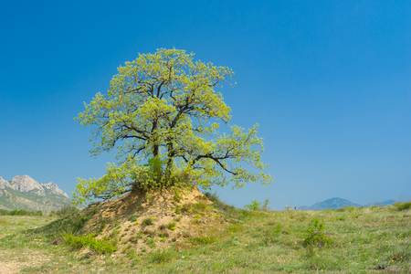 splendid: Splendid lonely oak on a hill against cloudless sky at spring season in Crimean peninsula Stock Photo