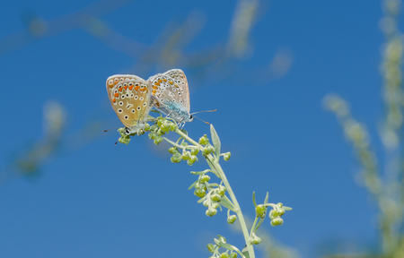 coupling: Coupling act in family of Common Blue (Polyommatus icarus) butterfly against blue sky