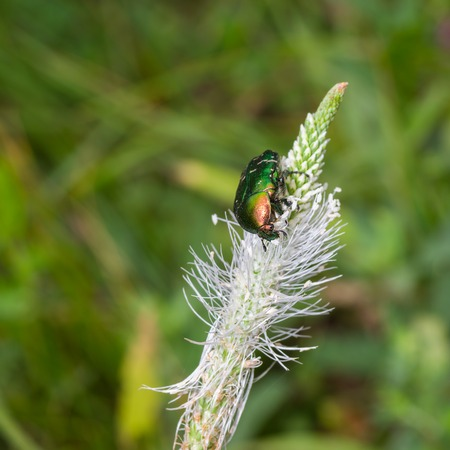 aurata: Cetonia aurata (rose chafer) beetle having lunch on a wild plant at flowering time Stock Photo